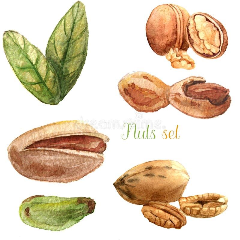 Καρύδια Watercolor καθορισμένα διανυσματική απεικόνιση