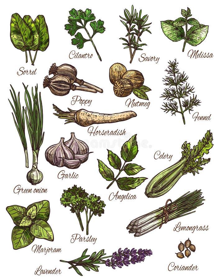 Καρύκευμα, χορτάρι και φρέσκο σχέδιο σκίτσων λαχανικών φύλλων ελεύθερη απεικόνιση δικαιώματος