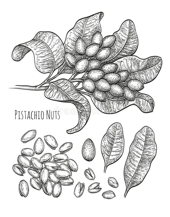 Καρύδια φυστικιών καθορισμένα ελεύθερη απεικόνιση δικαιώματος