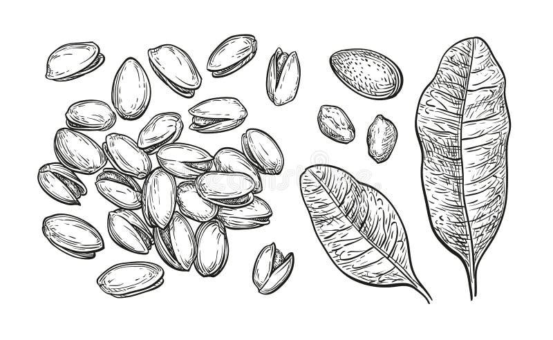 Καρύδια φυστικιών καθορισμένα διανυσματική απεικόνιση