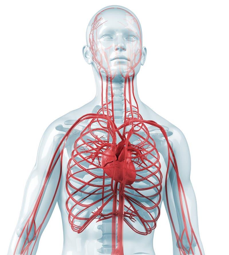 Καρδιά και καρδιαγγειακός κυκλοφοριακός ελεύθερη απεικόνιση δικαιώματος