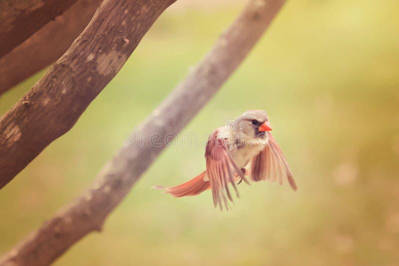 Καρδινάλιος κατά την πτήση στοκ φωτογραφίες