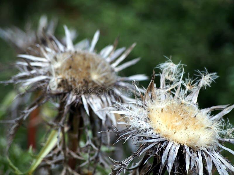 Καρλινίας acaulis - καρλινίας κινηματογράφηση σε πρώτο πλάνο κάρδων flowerhead στοκ εικόνες