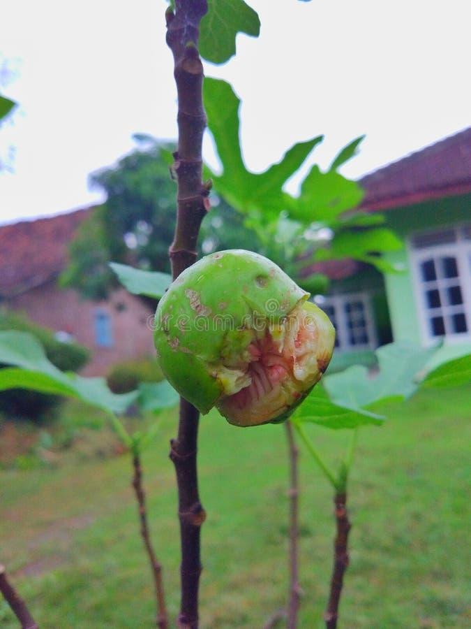 Κασσίτερος Buah ή φρούτα σύκων στο δέντρο στοκ εικόνες