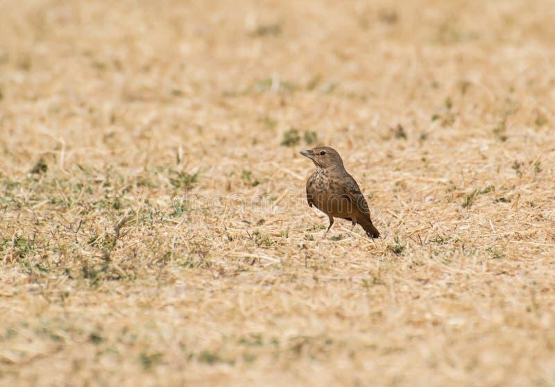 Καστανοκοκκινωπός-παρακολουθημένο lark να σκαρφαλώσει στο ξηρό λιβάδι στοκ εικόνα με δικαίωμα ελεύθερης χρήσης