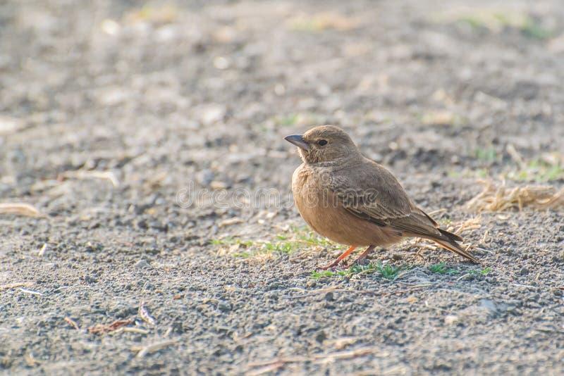 Καστανοκοκκινωπός-παρακολουθημένο Lark στο έδαφος στοκ φωτογραφίες
