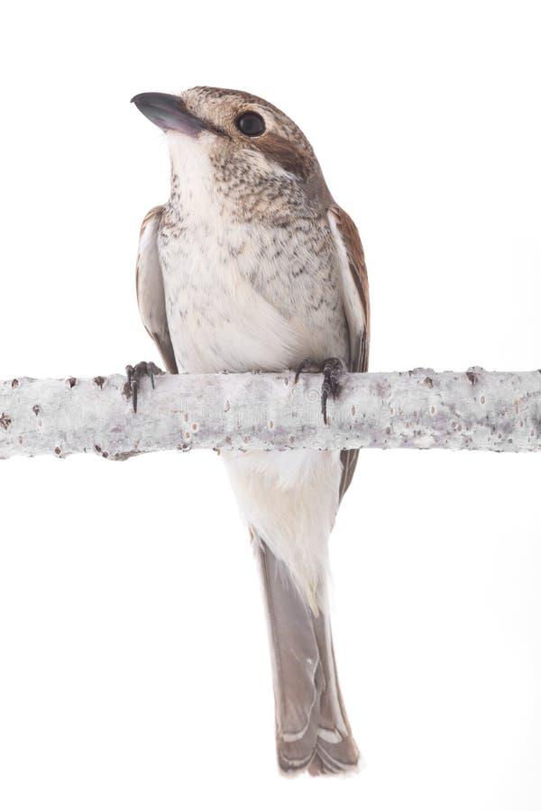 Καστανοκοκκινωπός-παρακολουθημένος shrike στοκ εικόνες με δικαίωμα ελεύθερης χρήσης