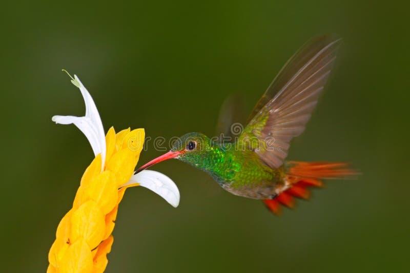 Καστανοκοκκινωπός-παρακολουθημένο κολίβριο κολίβριο Κολίβριο με το σαφές πράσινο υπόβαθρο στον Ισημερινό Κολίβριο στο βιότοπο φύσ στοκ εικόνες με δικαίωμα ελεύθερης χρήσης