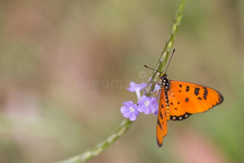Καστανόξανθη πεταλούδα Coster - κινηματογράφηση σε πρώτο πλάνο Acraea terpsicore στοκ εικόνα με δικαίωμα ελεύθερης χρήσης