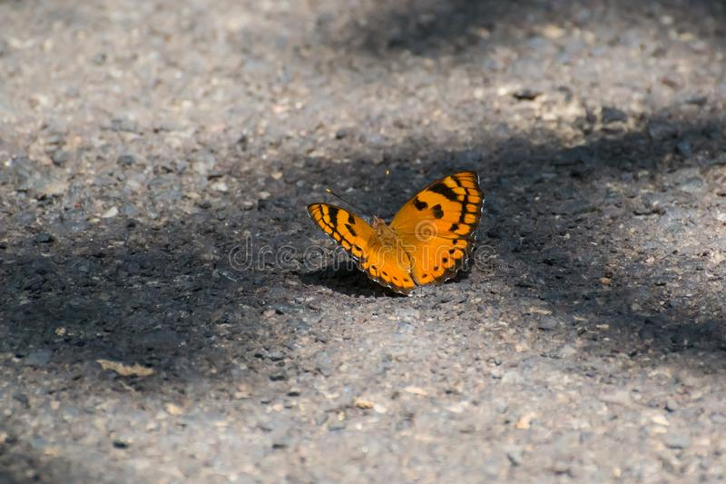 Καστανόξανθη πεταλούδα coster στοκ εικόνα με δικαίωμα ελεύθερης χρήσης