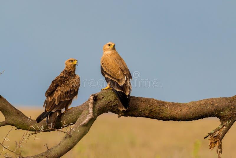 Καστανόξανθοι αετοί στοκ φωτογραφία με δικαίωμα ελεύθερης χρήσης