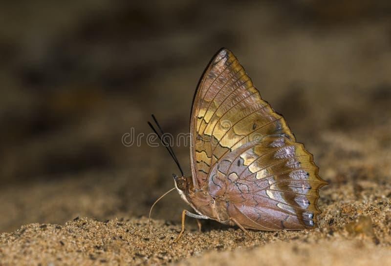 Καστανόξανθο ζευγάρι πεταλούδων Rajah στους λόφους Garo, Meghalaya, Ινδία στοκ φωτογραφίες με δικαίωμα ελεύθερης χρήσης