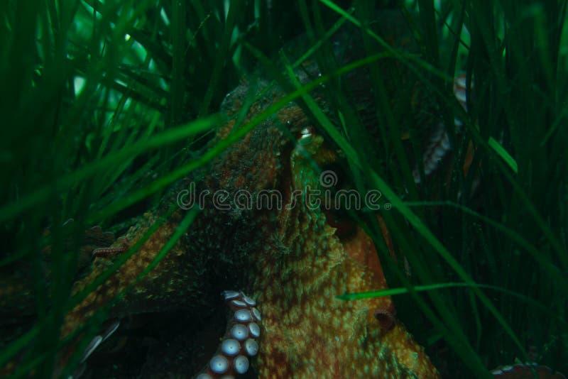 Κατάδυση και υποβρύχια φωτογραφία, χταπόδι κάτω από το νερό στο φυσικό βιότοπό του διανυσματική απεικόνιση