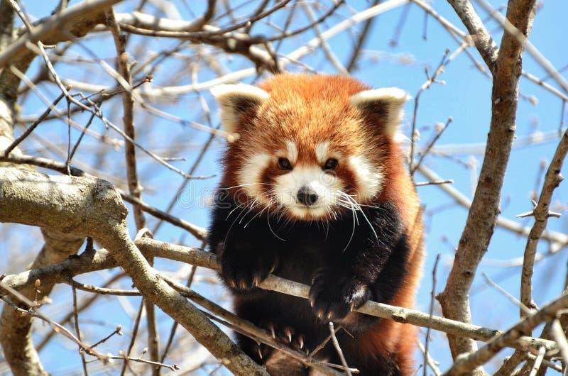 Κατάπληξη η κόκκινη Panda στοκ εικόνες