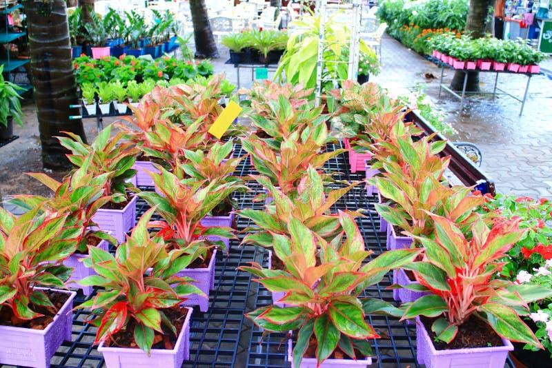Κατάστημα δέντρων Aglaonema στοκ εικόνα με δικαίωμα ελεύθερης χρήσης
