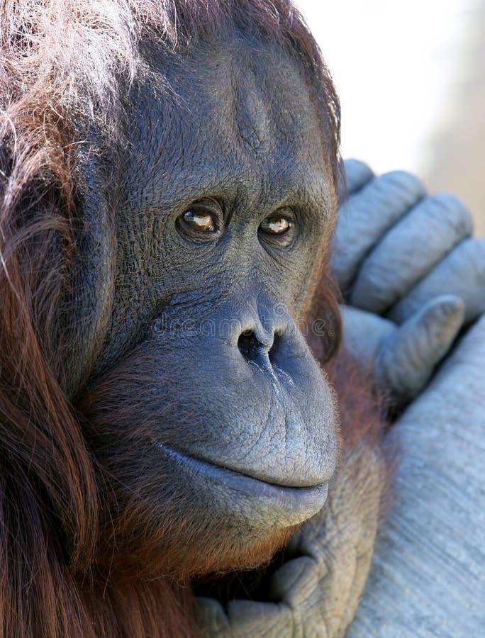Download κατάψυξη πίθηκων που φαίνεται Orangutan ήλιος δυστυχισμένος Στοκ Εικόνες - εικόνα: 123698