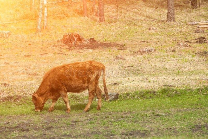 Κατά μήκος της καφετιάς χλόης μασήματος αγελάδων ενάντια σε έναν πράσινο τομέα στοκ εικόνες