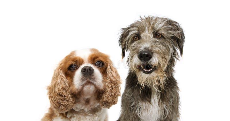 Κατακόρυφη ομάδα δύο σκύλων, cavalier και purebred tramp dog για την πλευρά του web απομονωμένο φόντο στοκ φωτογραφίες