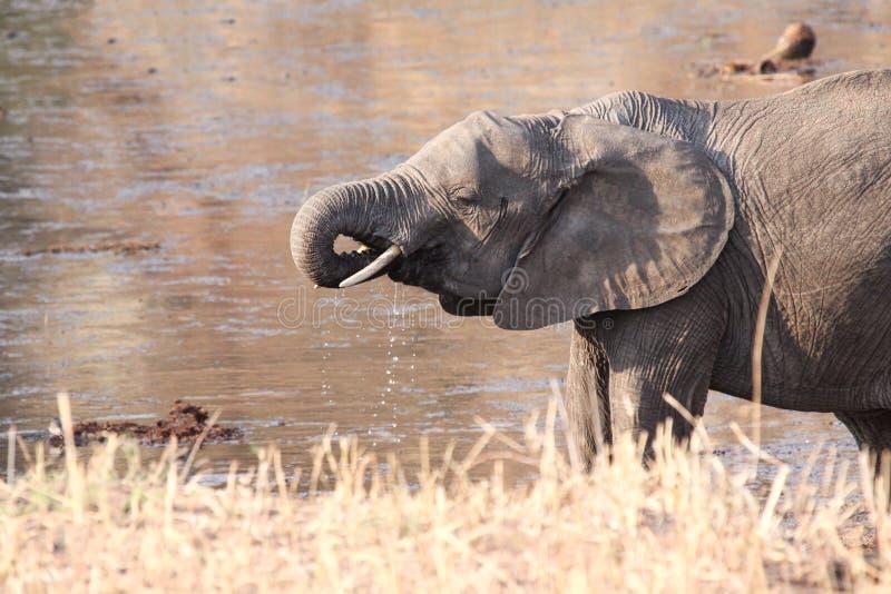 Κατανάλωση ελεφάντων στοκ εικόνες με δικαίωμα ελεύθερης χρήσης