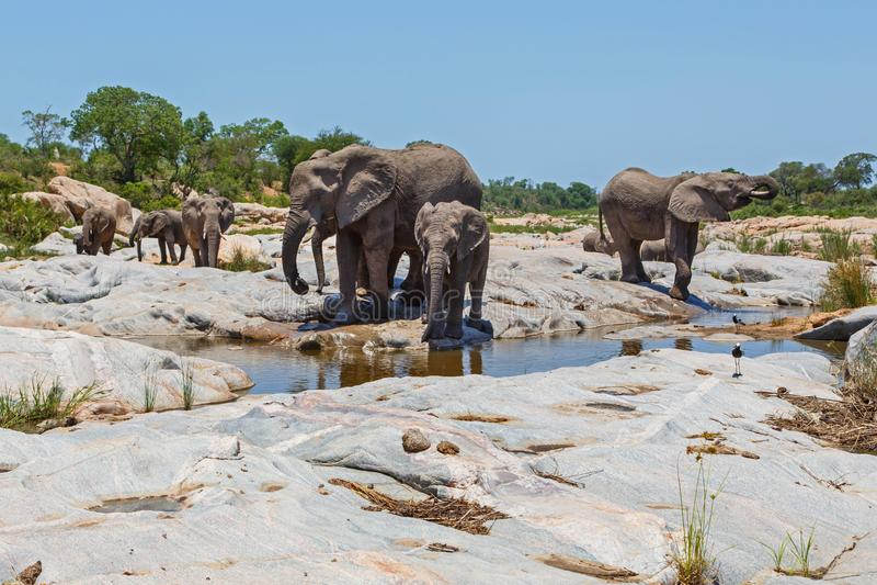 Κατανάλωση κοπαδιών ελεφάντων στοκ εικόνα με δικαίωμα ελεύθερης χρήσης