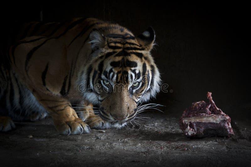 κατανάλωση της τίγρης κομ στοκ φωτογραφία με δικαίωμα ελεύθερης χρήσης