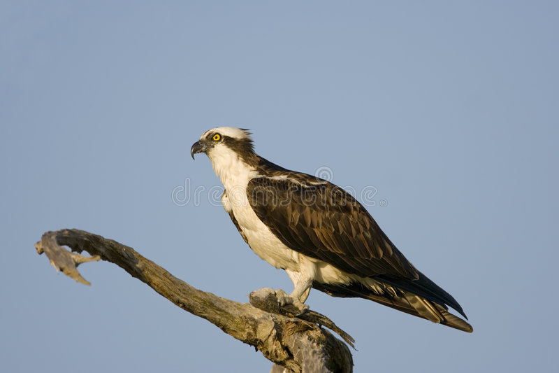 κατανάλωση του αρσενικού δέντρου osprey ψαριών στοκ εικόνα