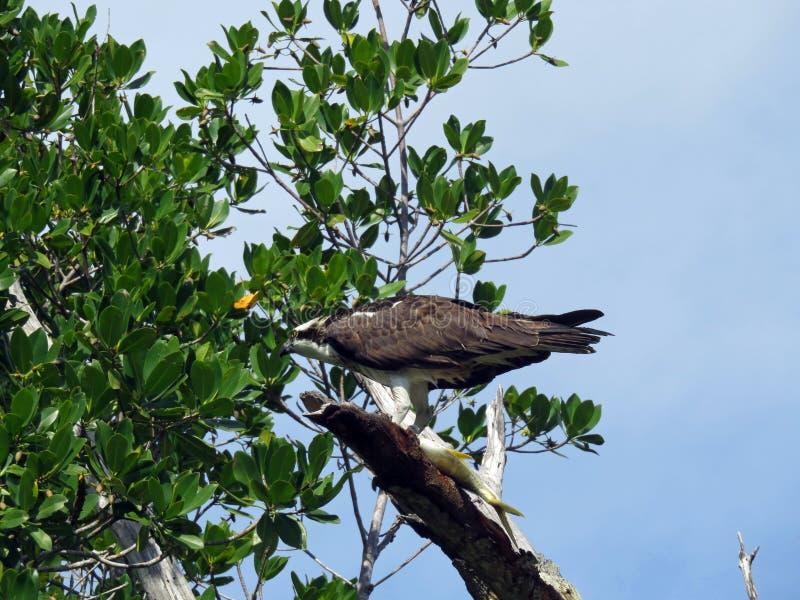 κατανάλωση του osprey ψαριών στοκ φωτογραφίες με δικαίωμα ελεύθερης χρήσης
