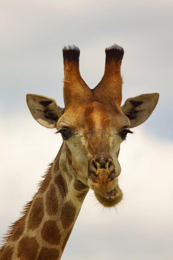 κατανάλωση giraffe στοκ φωτογραφίες