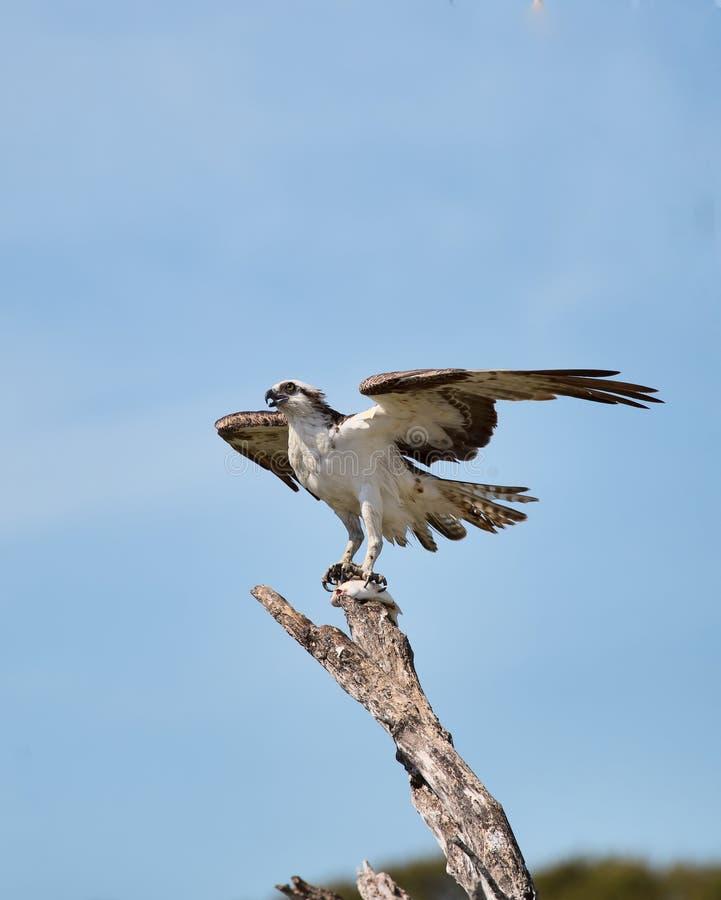Κατανάλωση Osprey στοκ εικόνα με δικαίωμα ελεύθερης χρήσης
