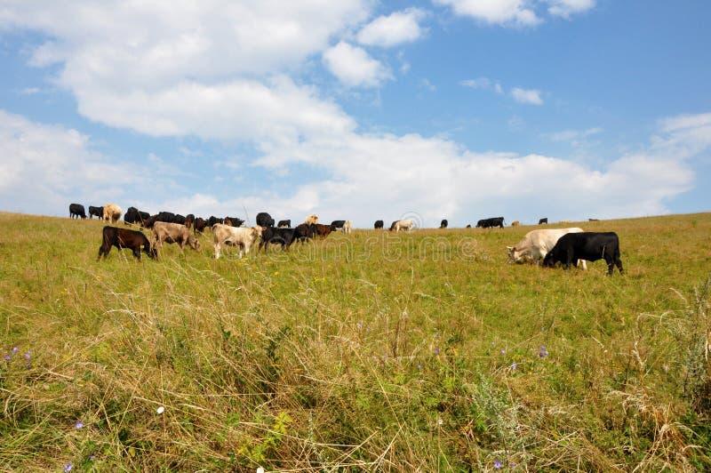κατανάλωση αγελάδων στοκ εικόνες