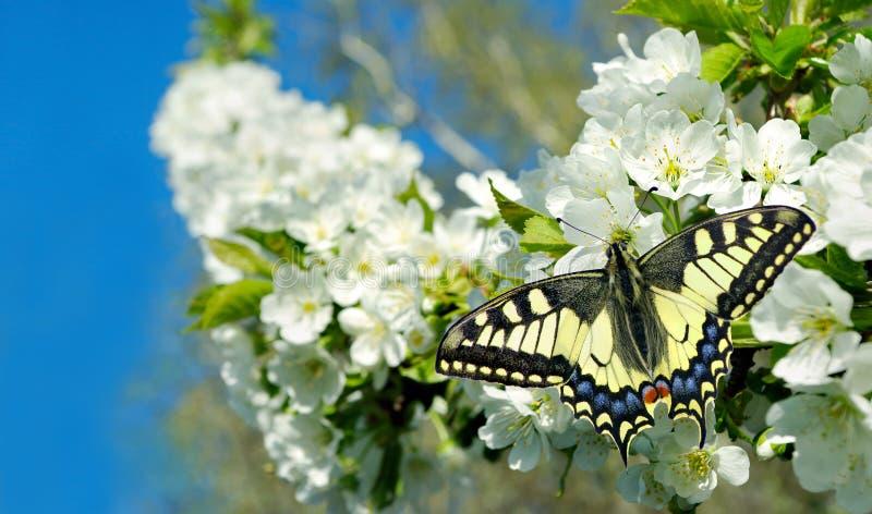 Καταπιείτε πεταλούδα σε ένα κλαδί κεράσι που ανθίζει ανθισμένο sakura και πεταλούδα φόντο κήποι που ανθίζουν αντιγραφή στοκ εικόνα με δικαίωμα ελεύθερης χρήσης