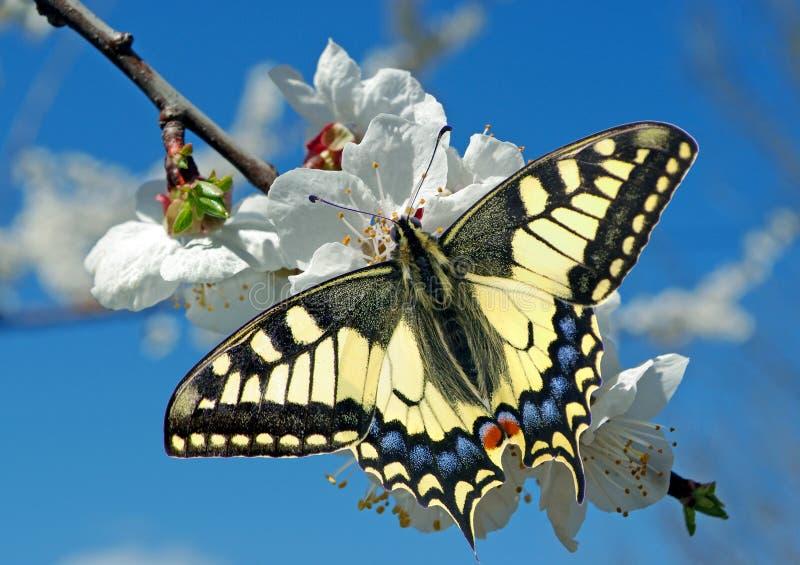 Καταπιείτε πεταλούδα σε ένα κλαδί κεράσι που ανθίζει ανθισμένο sakura και πεταλούδα φόντο κήποι που ανθίζουν αντιγραφή στοκ εικόνες με δικαίωμα ελεύθερης χρήσης
