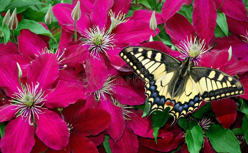 Καταπιείτε πεταλούδα στα μοβ λουλουδιά πεταλούδα σε λουλούδια δυναμική καθαρίτιδα στοκ εικόνες
