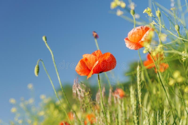 Καταπληκτικά κόκκινα λουλούδια παπαρουνών ενάντια στον ουρανό η κόκκινη παπαρούνα ανθίζει το τοπίο στοκ φωτογραφία