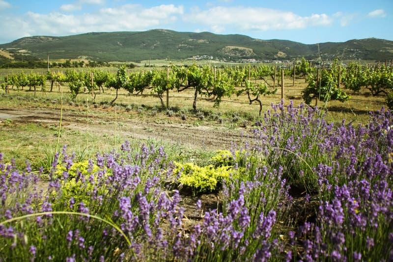 Καταπληκτικές απόψεις των αμπελώνων και των βουνών της Κριμαίας και ανθίζοντας lavender όμορφο τοπίο των βουνών στοκ εικόνα