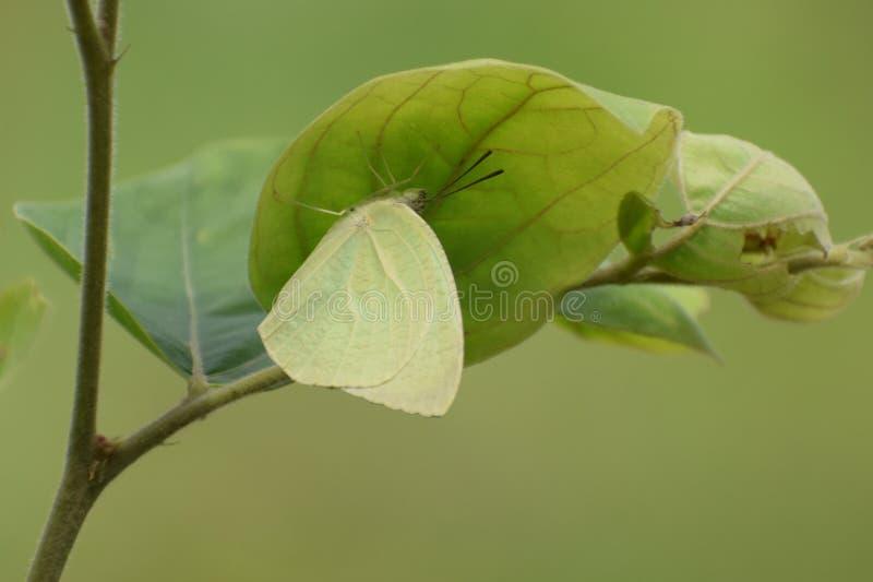 Καταπληκτική διαστισμένη πεταλούδα catopsilia μεταναστών pyranthe στοκ εικόνα