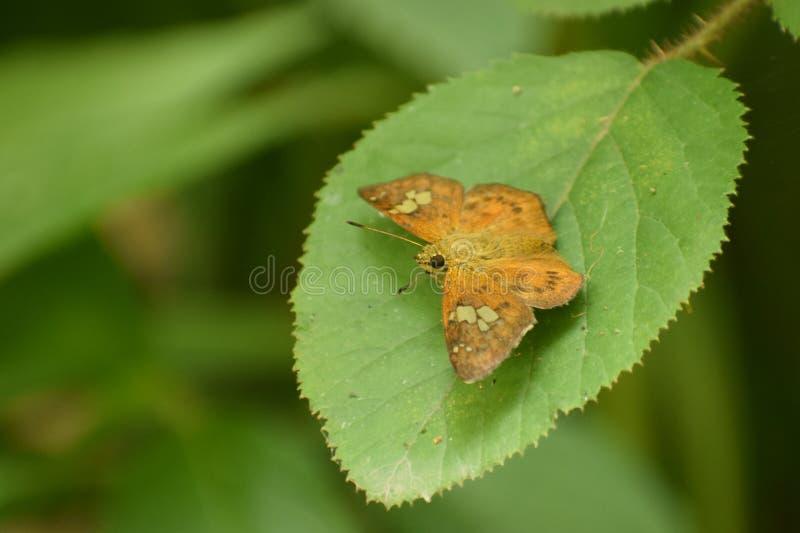 Καταπληκτική καστανόξανθη παρδαλή επίπεδη πεταλούδα Dan pseudocoladenia στοκ φωτογραφία