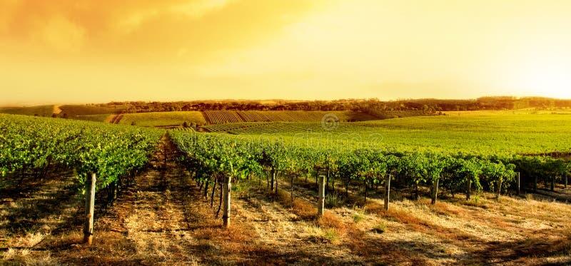 καταπληκτικός αμπελώνας ηλιοβασιλέματος στοκ φωτογραφία με δικαίωμα ελεύθερης χρήσης