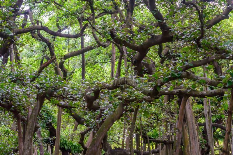 Καταπληκτικός θόλος δέντρων Banyan στο misty πρωί φθινοπώρου με τις ηλιαχτίδες που λάμπουν μέσω των φύλλων στοκ φωτογραφία με δικαίωμα ελεύθερης χρήσης