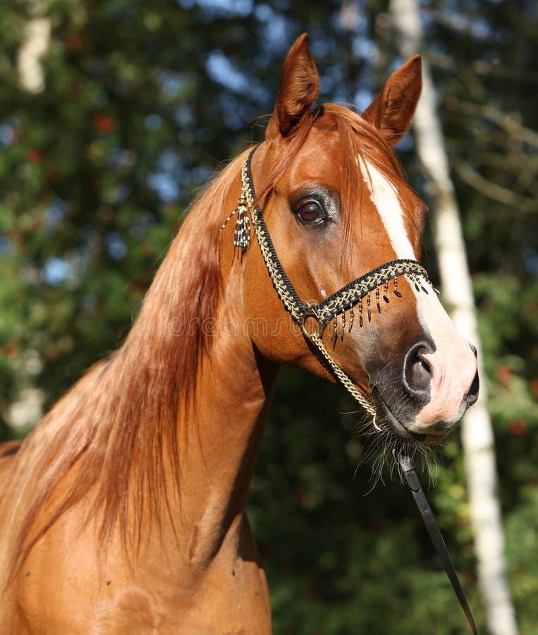 Καταπληκτικό αραβικό άλογο με το όμορφο halter στοκ φωτογραφία με δικαίωμα ελεύθερης χρήσης