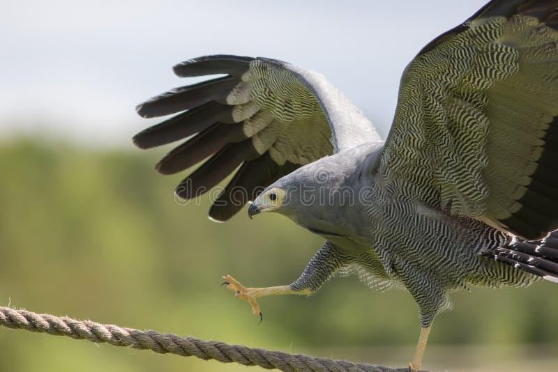 Καταπληκτικό ζώο στην επίδειξη Αφρικανικό πουλί γερακιών επιδρομέων του θηράματος CLI στοκ εικόνα