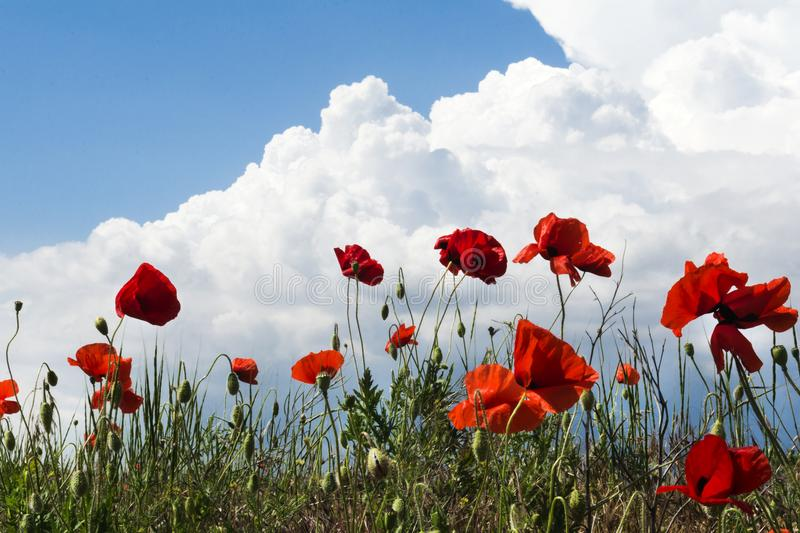 Καταπληκτικό τοπίο τομέων θερινών παπαρουνών ενάντια στο ζωηρόχρωμο ουρανό και τα ελαφριά σύννεφα στοκ φωτογραφία με δικαίωμα ελεύθερης χρήσης