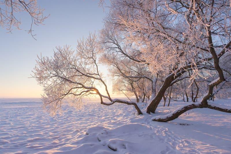 Καταπληκτικό χειμερινό τοπίο το πρωί Τα παγωμένα και χιονώδη δέντρα είναι στο λιβάδι που καλύπτεται από το χιόνι Κίτρινο φως του  στοκ εικόνα