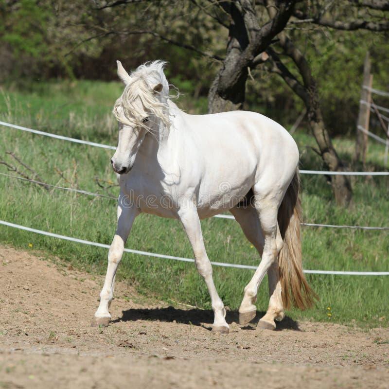 Καταπληκτική άσπρη ανδαλουσιακή φοράδα στοκ φωτογραφία με δικαίωμα ελεύθερης χρήσης