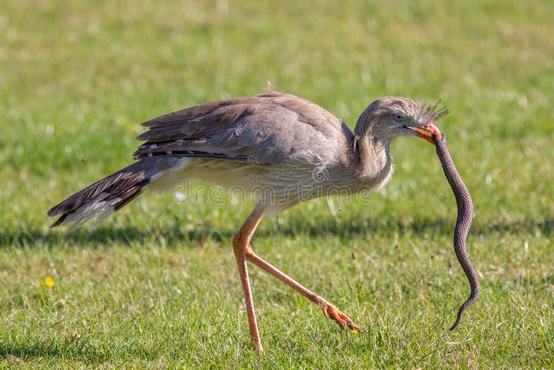 Καταπληκτική εικόνα άγριας φύσης Ζωικό κυνήγι Πουλί του θηράματος που επιτίθεται στο s στοκ φωτογραφία