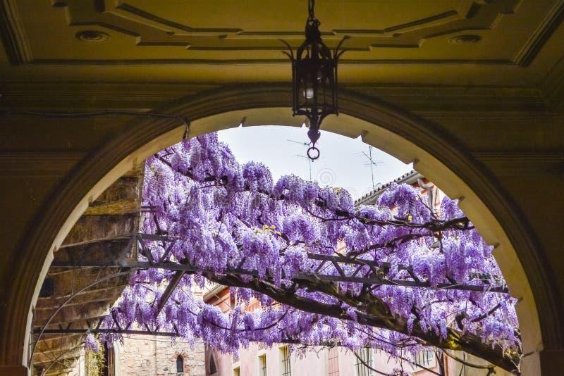 Καταπληκτική πέργκολα wisteria στις οδούς της παλαιάς περιτοιχισμένης πόλης Soave στοκ φωτογραφία με δικαίωμα ελεύθερης χρήσης