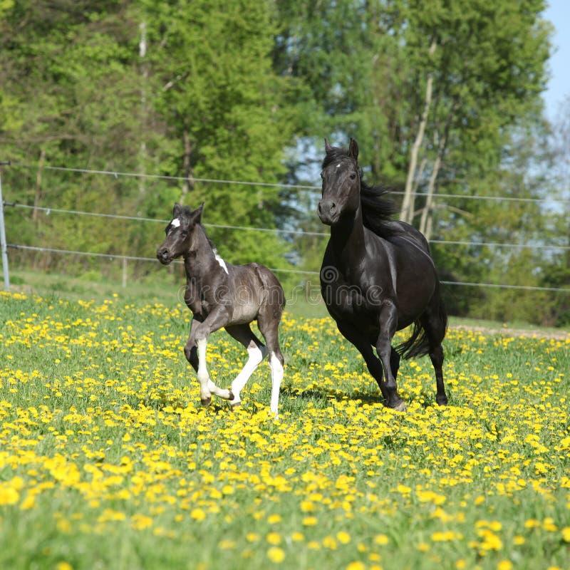 Καταπληκτική φοράδα με foal το τρέξιμο στοκ εικόνες