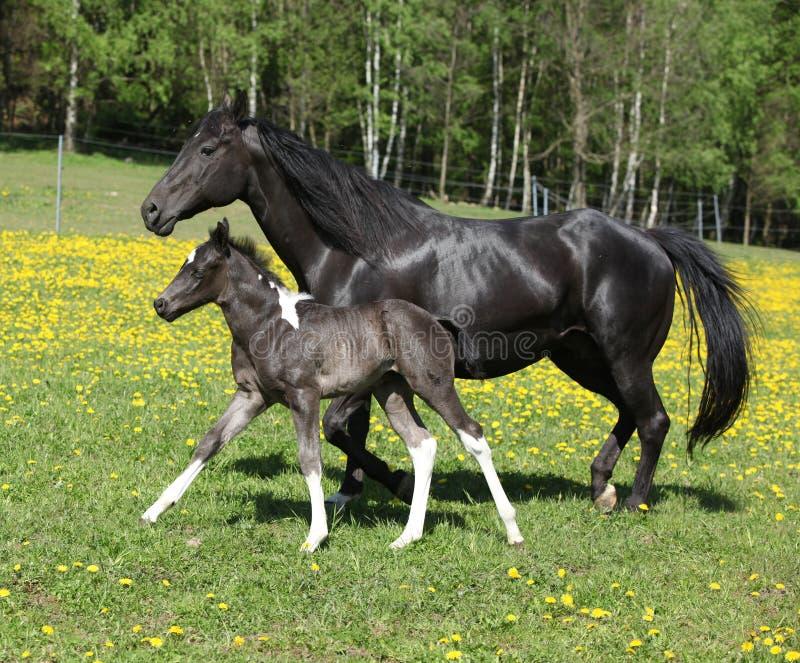 Καταπληκτική φοράδα με foal το τρέξιμο στοκ φωτογραφία με δικαίωμα ελεύθερης χρήσης