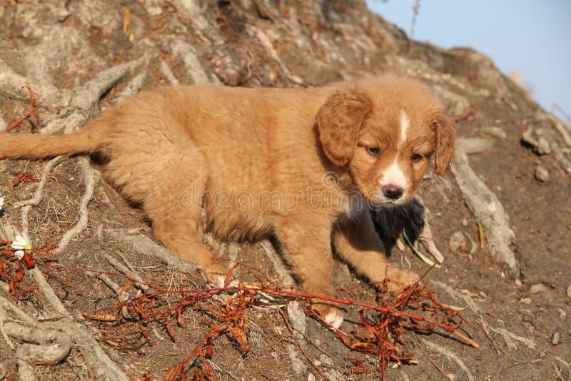 Καταπληκτικό κουτάβι της Νέας Σκοτίας στις ρίζες φύσης στοκ εικόνες