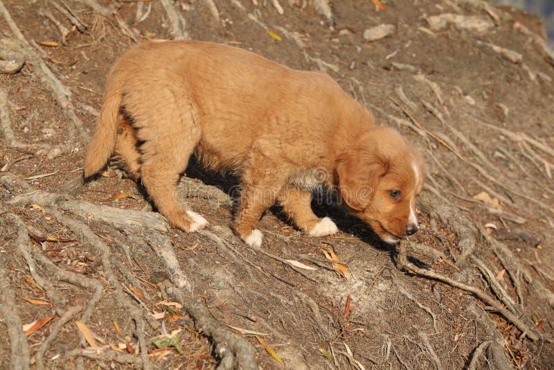 Καταπληκτικό κουτάβι της Νέας Σκοτίας στις ρίζες φύσης στοκ φωτογραφίες με δικαίωμα ελεύθερης χρήσης